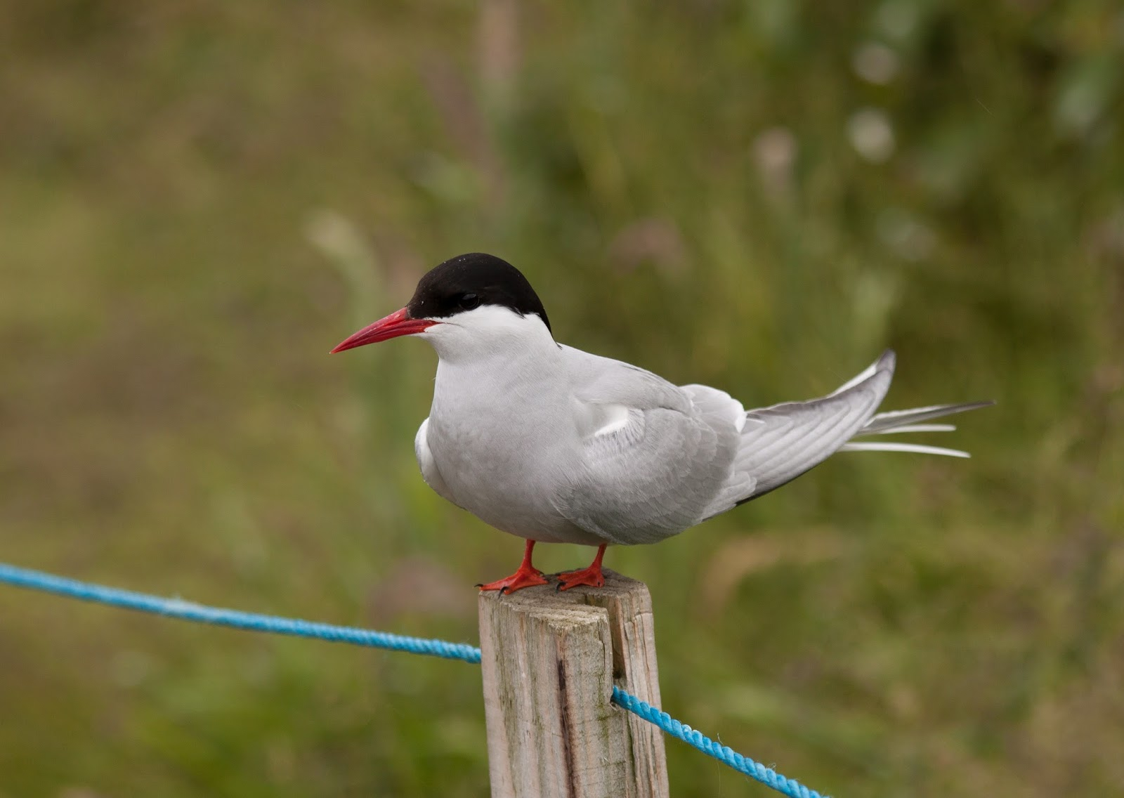 Arctic Tern - Farne Islands, Northumberland