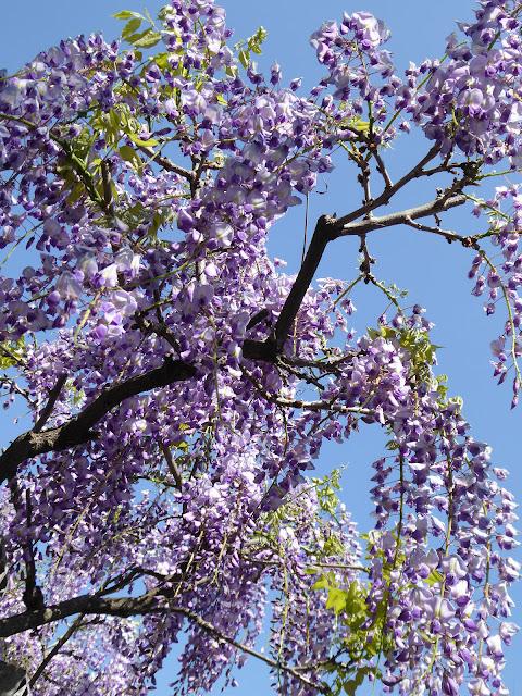 枚方市 王仁公園の藤の花 薄紫色