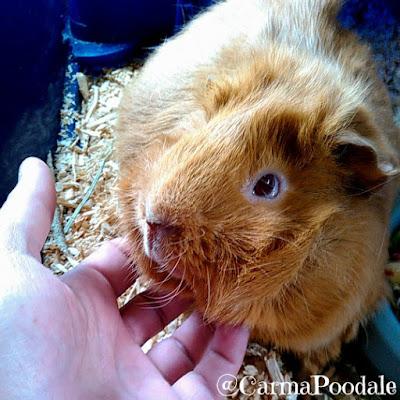 Rubbing a guinea pigs chin