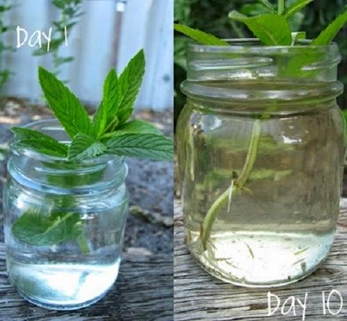 Bước 1 Cách trồng cây bạc hà