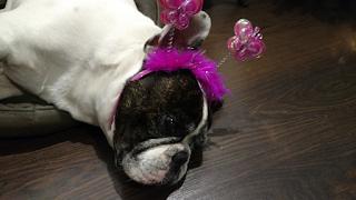 Miqui, nuestro bulldog francés