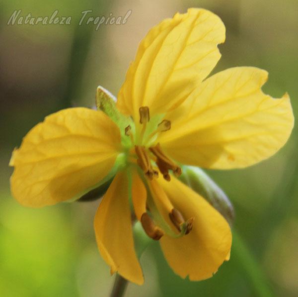 Otra foto de la flor de Senna occidentalis
