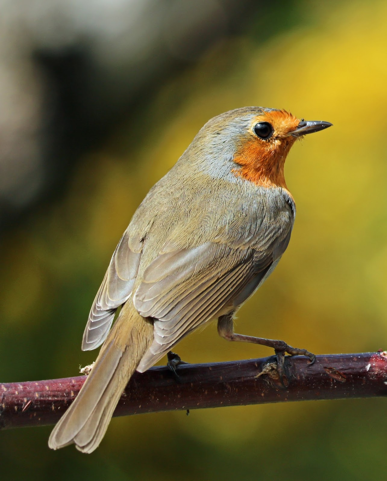 Picture of a beautiful robin.