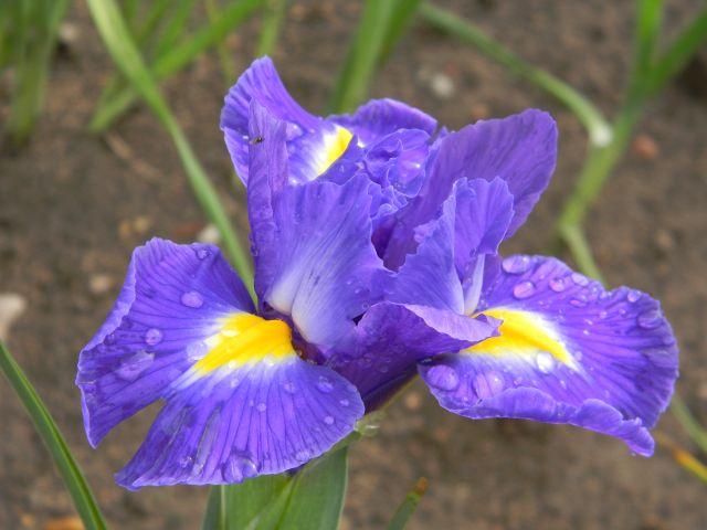 ogród, kwiat, kolory, uprawa