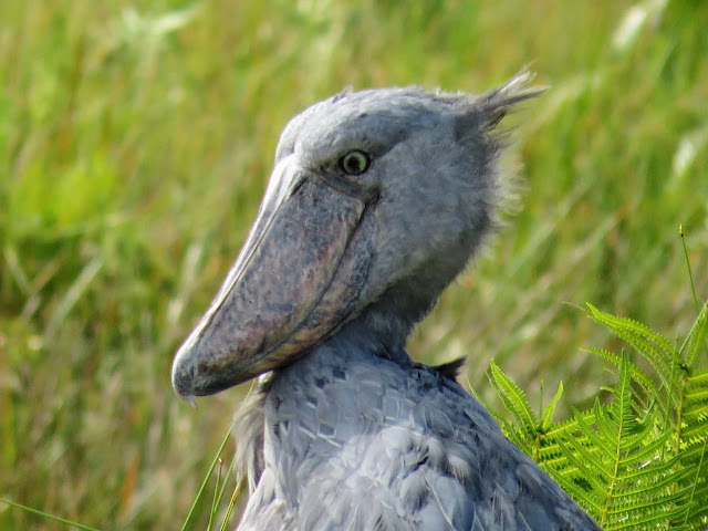 shoebill bird in Uganda's Mabamba Swamp