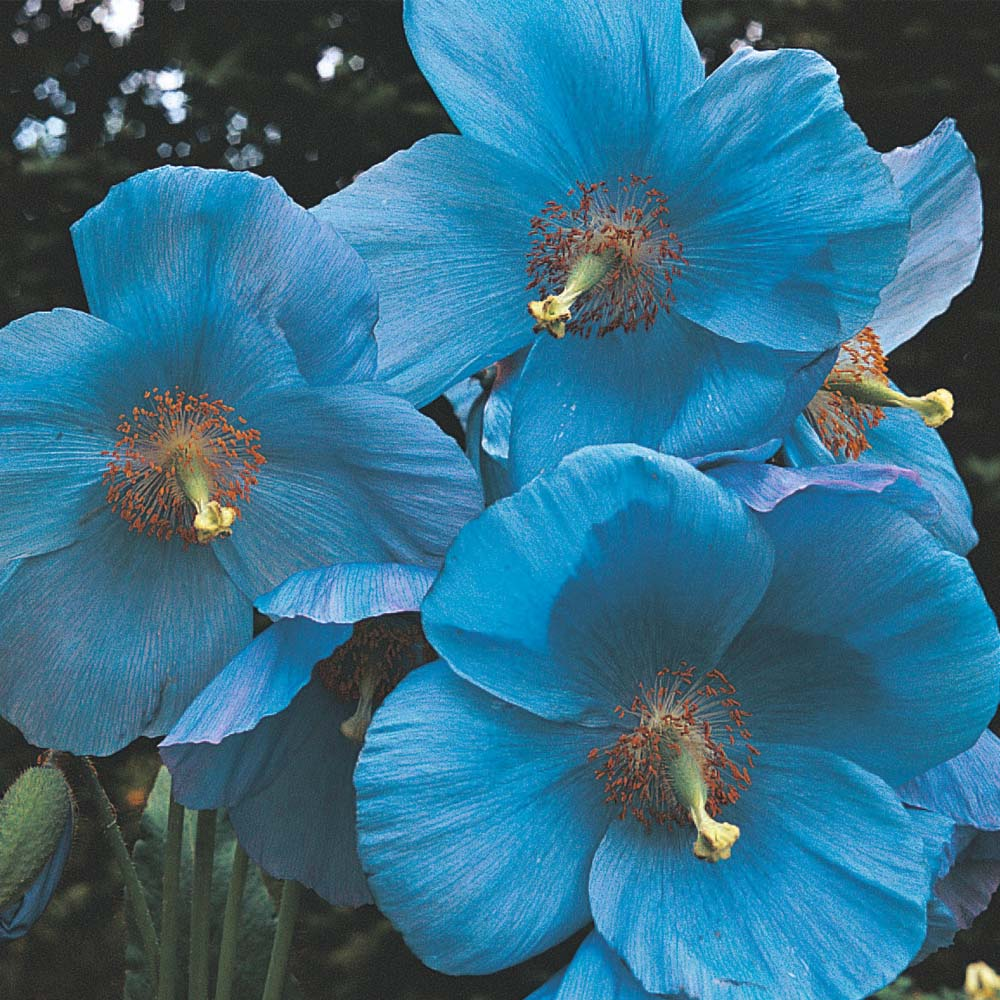 How To Grow The Himalayan Blue Poppy Meconopsis Betonicifolia