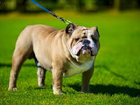 5 Perbedaan Anjing Bulldog dan Anjing Pitbull
