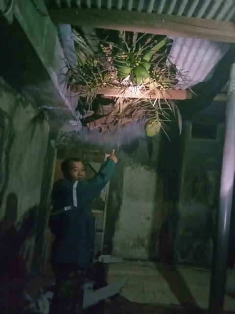 pohon kelapa menimpa rumah warga di lomanis