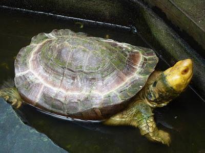 Temperamen kura-kura Yuwonoi