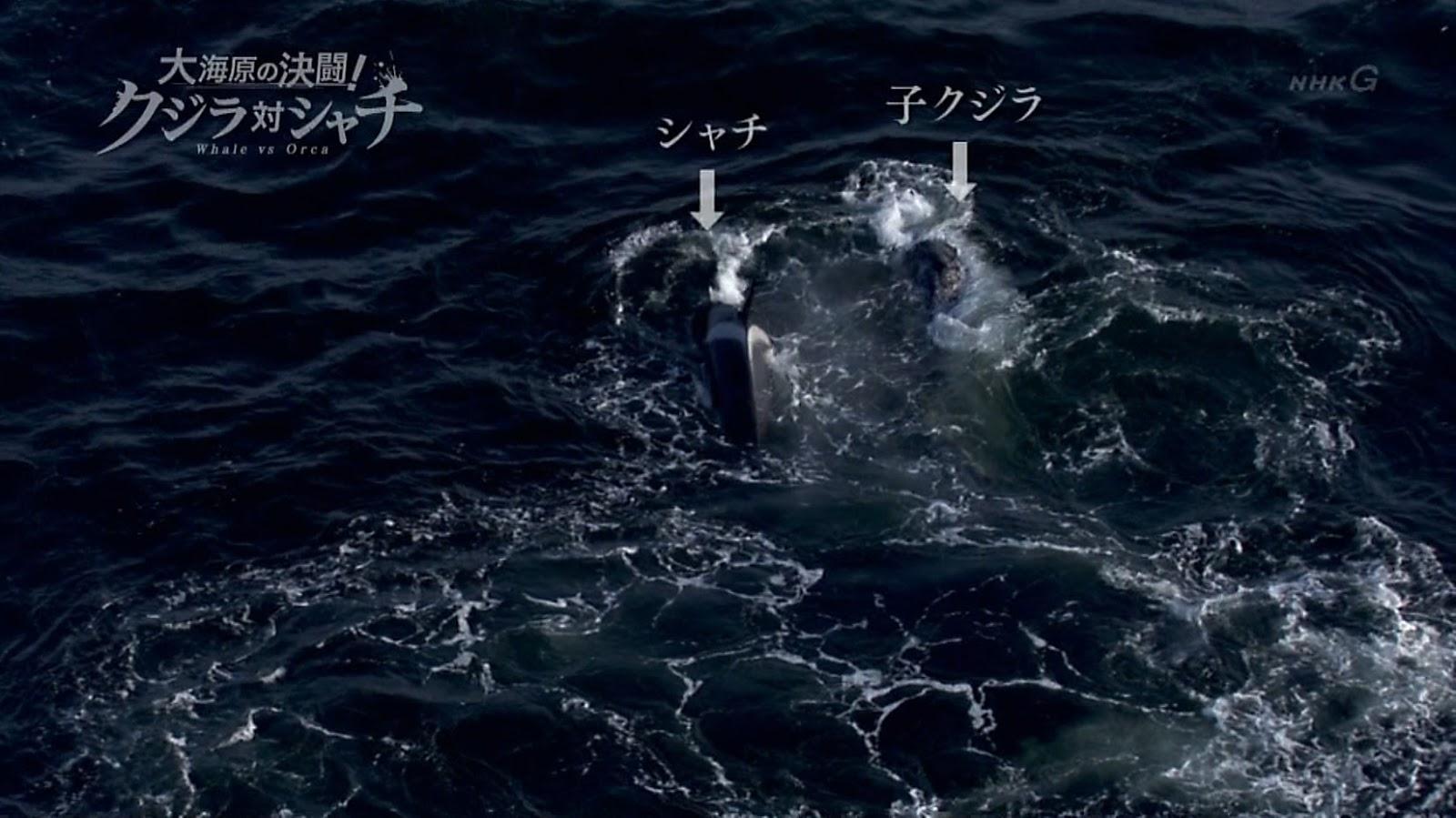 ③運動音痴コククジラ母子vsシャチ5,6頭 もう見るに耐えないまたまた理不尽ハンデキャップマッチ