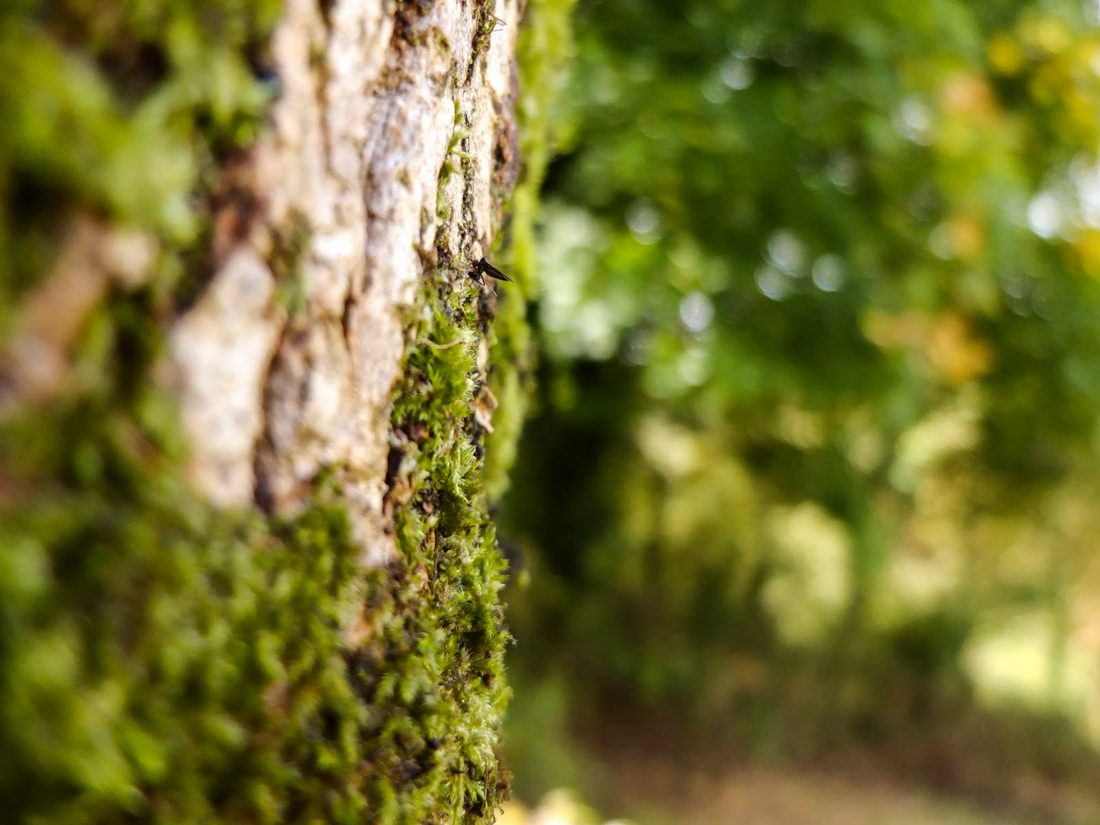 A macro image of moss growing on a Maple tree trunk.