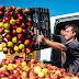 3,8 százalékkal csökkentek a mezőgazdasági termelői árak