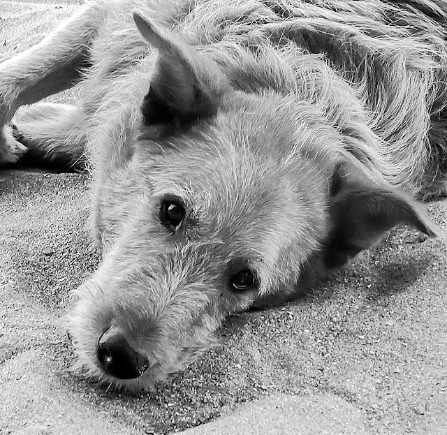 Cabeza de perro ehcado sobre la arena en Blanco y Negro