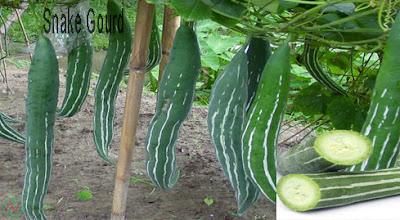 snake gourd vegetable; snake gourd