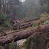 Fenômeno misterioso derruba centenas de árvores enormes, estalando-as como se fossem galhos