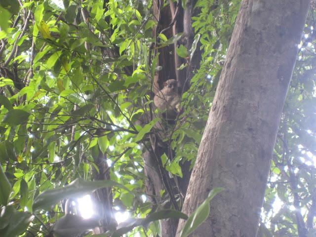 nocternal lemur in ankarana national park