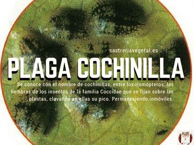 Plaga de Cochinillas o cóccidos provoca en las plantas debilitamiento y hasta su muerte