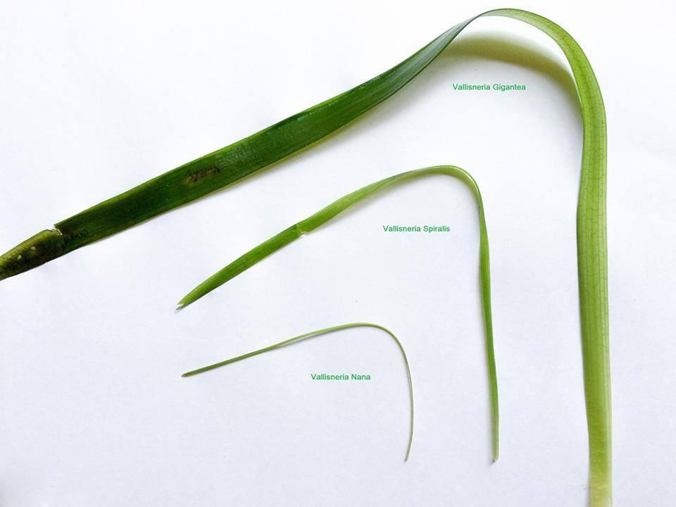 Vallisneria nana Vallisneria spiralis vallisneria gigantea