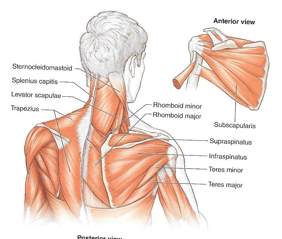 Moderno Cuello Y El Hombro Anatomía Imágenes - Anatomía de Las ...