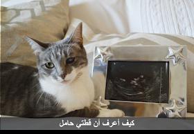 كيف اعرف ان قطتى حامل 10 علامات قطة شيرازي