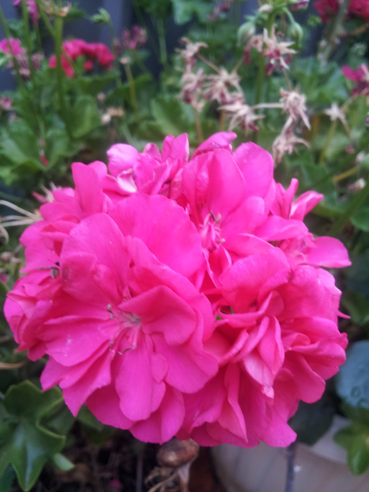 Another Type Of Flower I Found Was The Gorgeous Geranium We Have Two Types Hot Pink And Light They Make Everything Look So Much Nicer