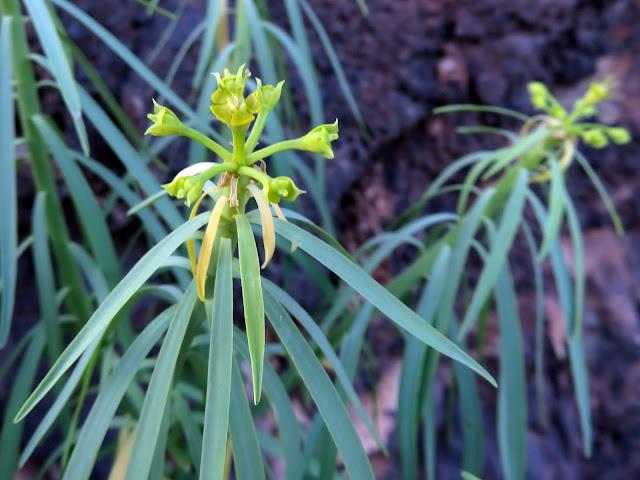 Euphorbia lamarckii var. lamarckii