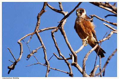 Alcotán australiano Falco longipennis