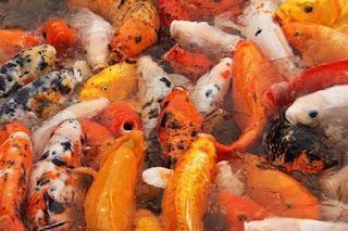 Ikan Koi, 12 Fakta, Sejarah dan Informasi Menarik Lainnya
