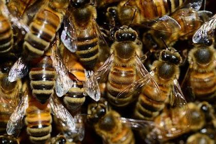 30 Fakta Menarik Lebah Madu - Mana Yang Sudah Anda Tahu?