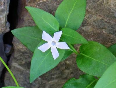 Flor azul pálido de Alcandórea (Vinca difformis)