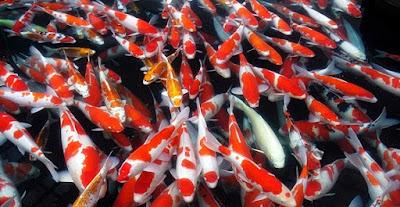 Budidaya Ikan Koi - Cara Budidaya Ikan Koi