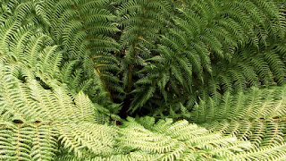 Polystichum Shade loving plants Green Fingered Blog