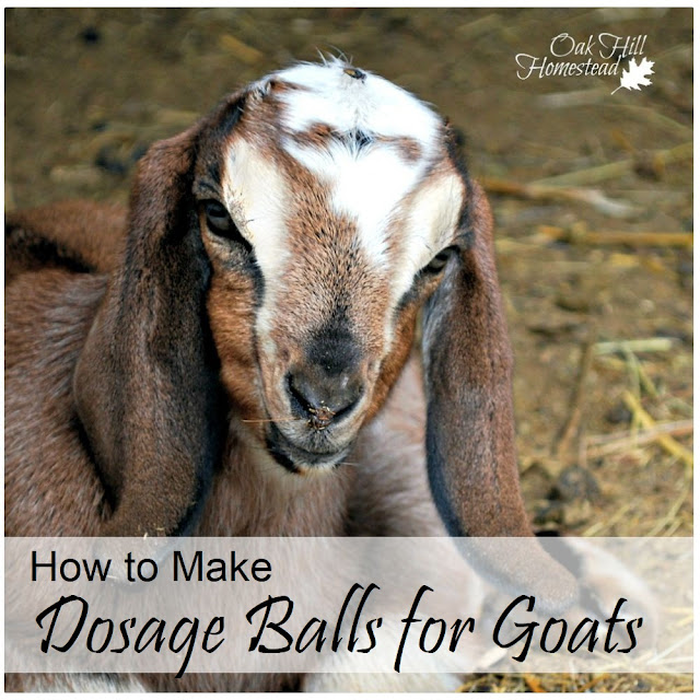 How to make dosage balls for goats. Use this for herbal wormers, medications, etc. | from Oak Hill Homestead