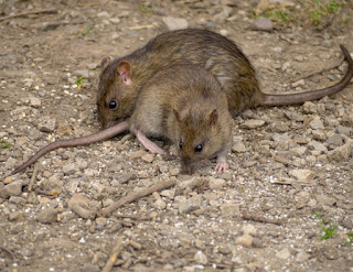 Rattus exulcans eat seeds
