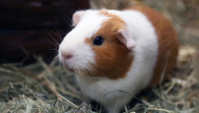 ban-bo-u-chuot-lang-guinea-pig-tai-da-nang-1