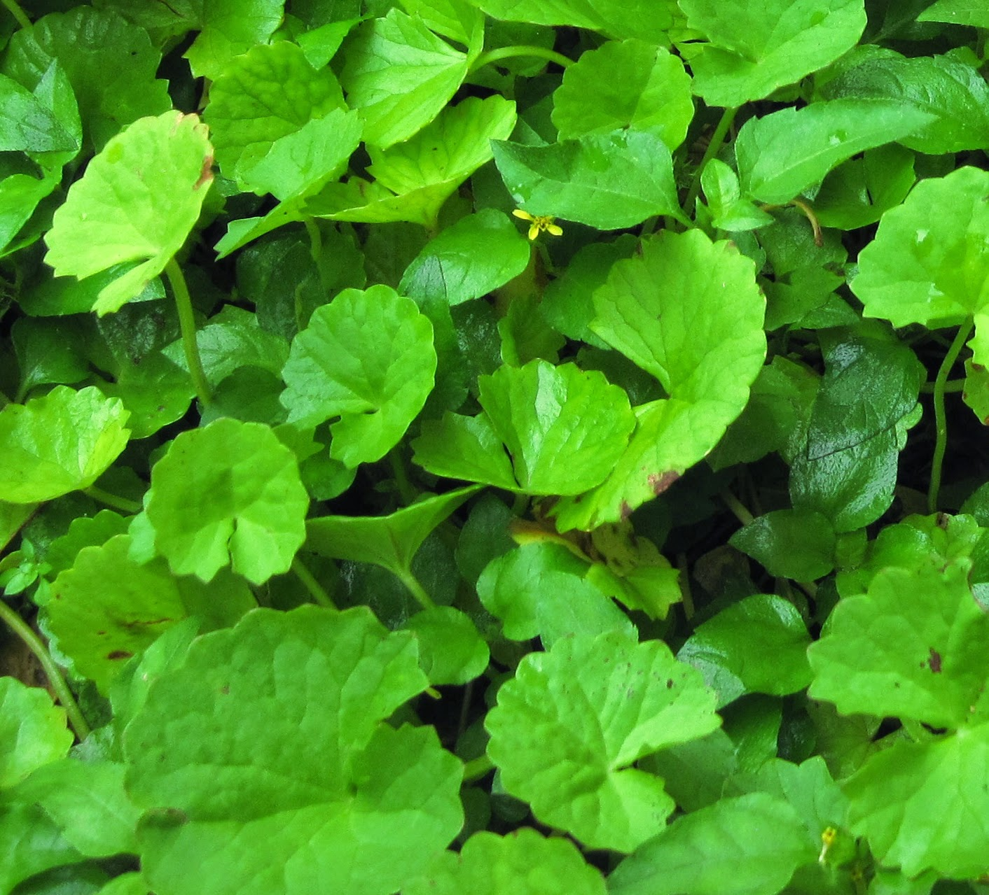 Manfaat dan Khasiat Tanaman Pegagan (Centella Asiatica L. Urban)