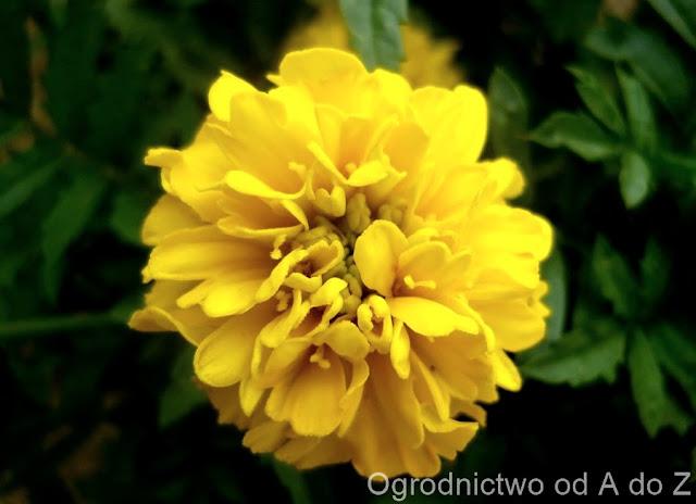 Tagetes patula 'Petite Yellow'