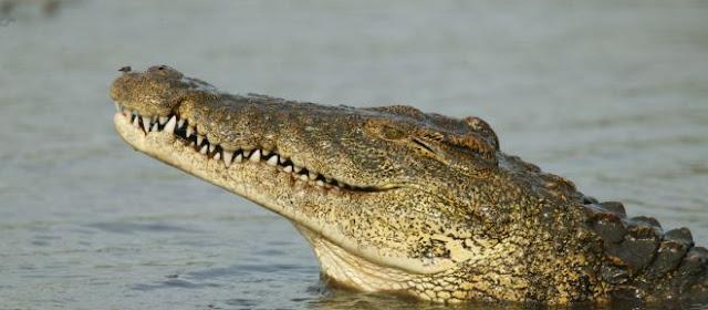 ΘΑ σας ΚΟΠΕΙ η ΑΝΑΣΑ: Δείτε το βίντεο που έριξε το διαδίκτυο – Γιγαντιαίος κροκόδειλος κατασπαράζει έναν… (ΒΙΝΤΕΟ)