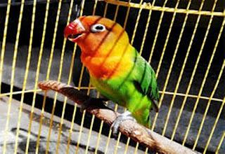 Lovebird gestang (gesek tangkringan) tetap bisa produksi