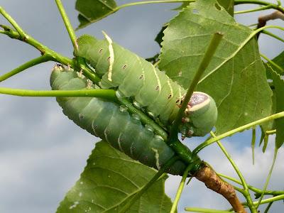 Pachysphinx modesta caterpillar