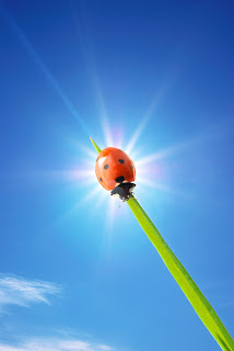 Photo of ladybug on a blade of grass in the sunlight