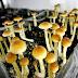 Manna : A Psilocybin Mushroom Documentary Film !