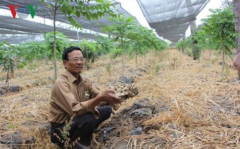 Bị lừa trồng gừng sạch, nhiều hộ nông dân ở Gia Lai mất trắng hàng trăm triệu đồng