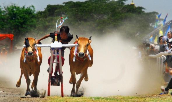 Adat budaya indonesia yang masih dijunjung tinggi oleh rakyat indonesia yaitu karapan sapi Adat Budaya Indonesia Karapan Sapi