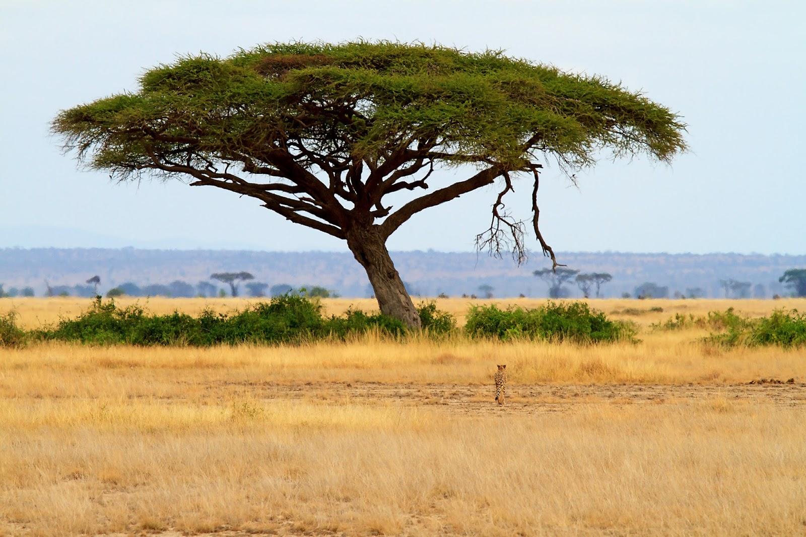 Marie laval alicia dean on africa romance and acacia trees for Acacia albero