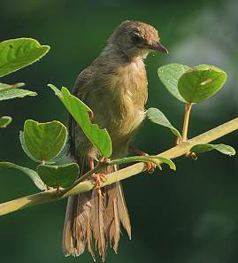 Suara burung little greenbul