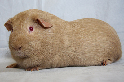 All Things Guinea Pig Cavy Colours