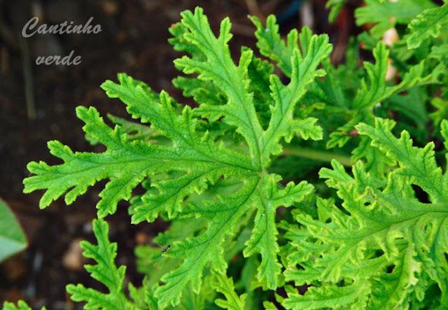 Gerânio de Cheiro ou cheiroso (Pelargonium graveolens)