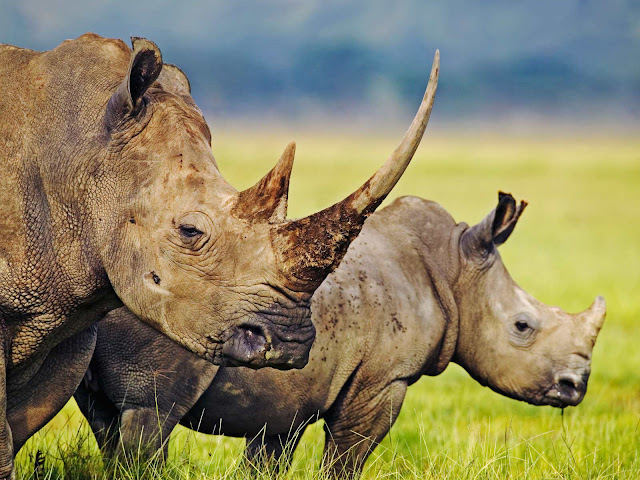 Researchers using DNA to protect the rhinoceros from extinction