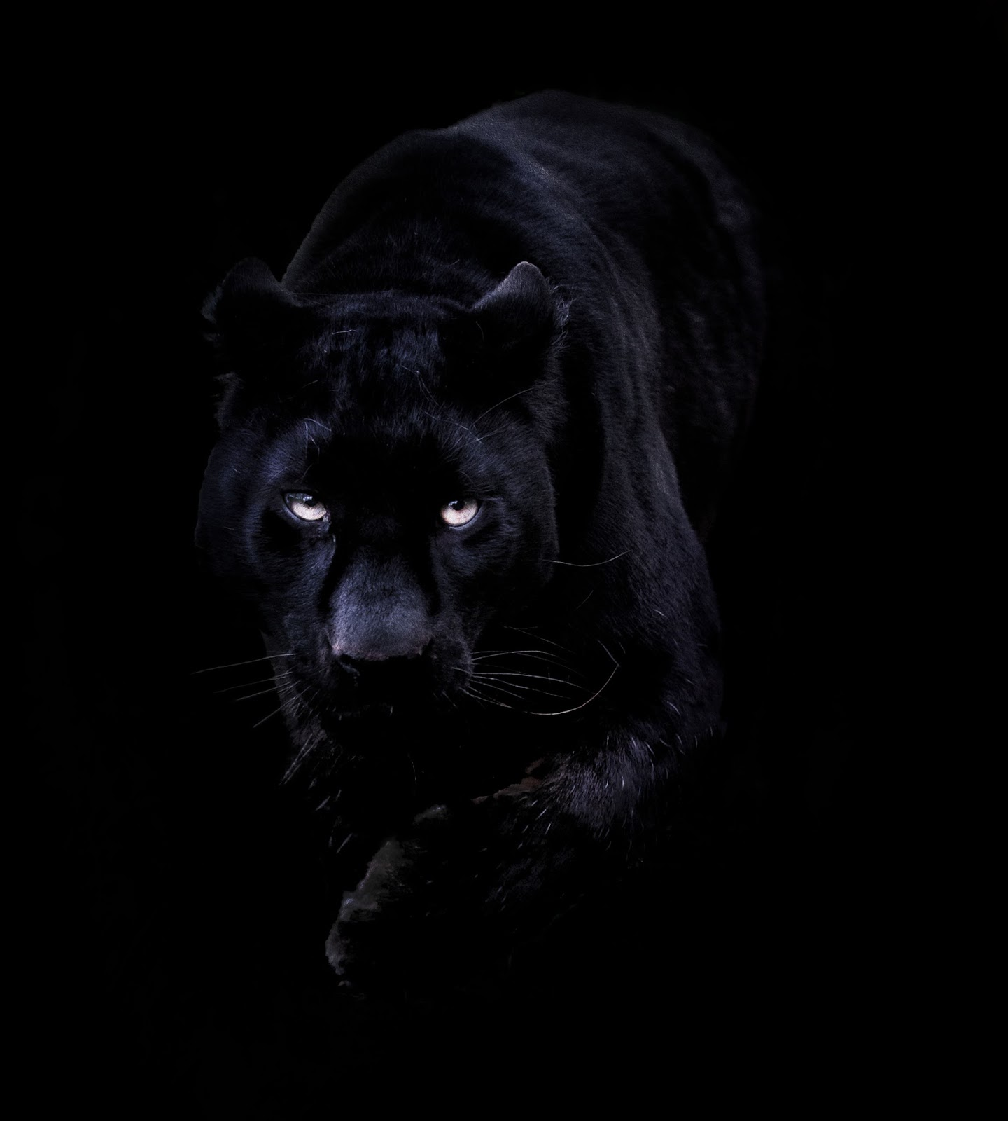 Black Puma Wallpaper